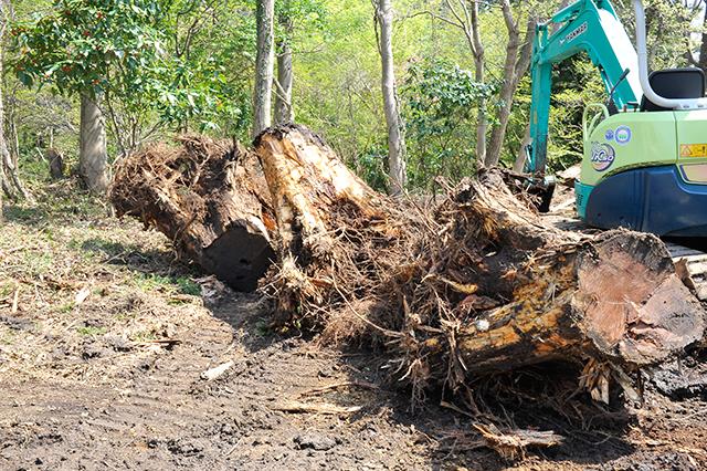 抜根した巨木
